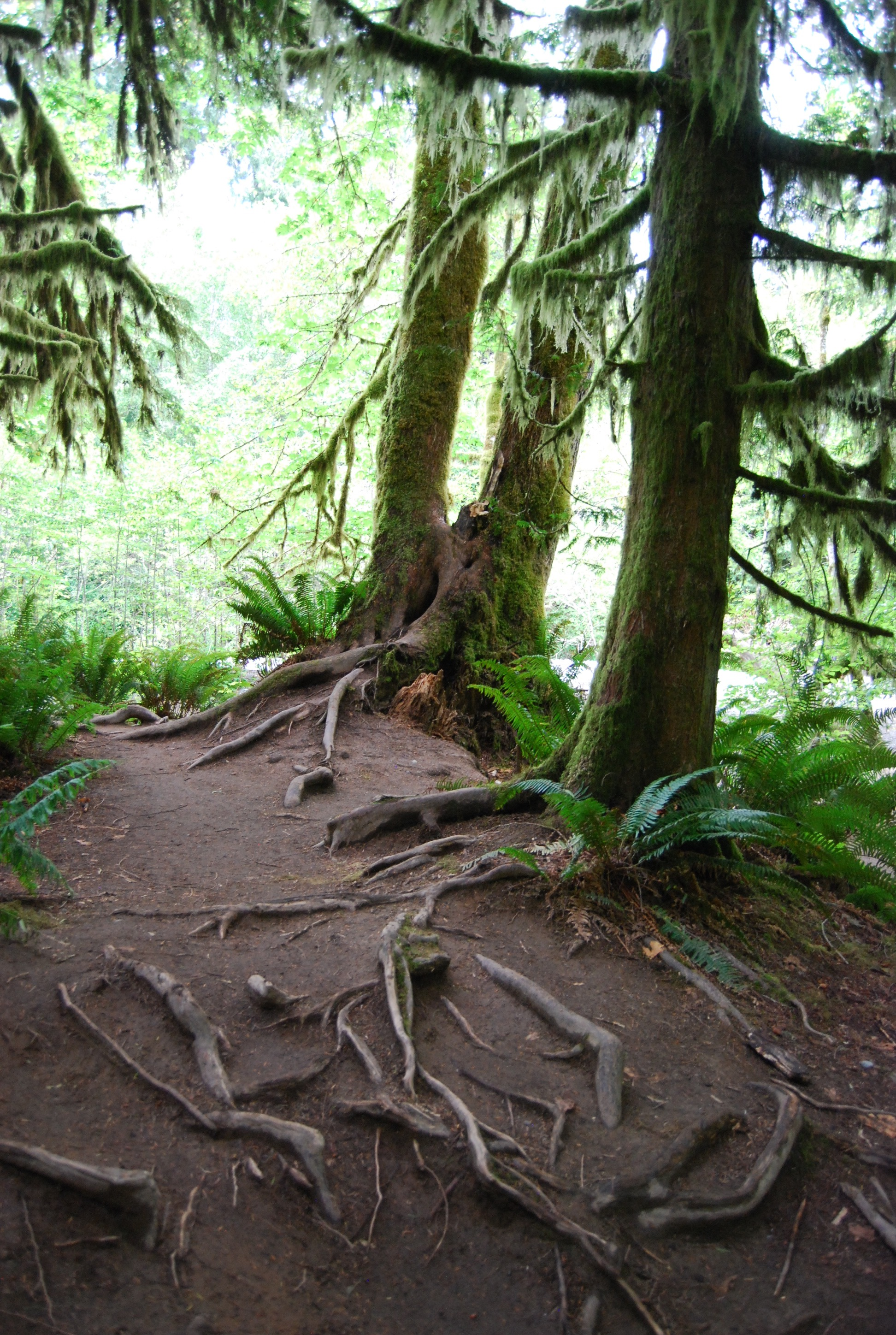 Cathedral Grove Roots