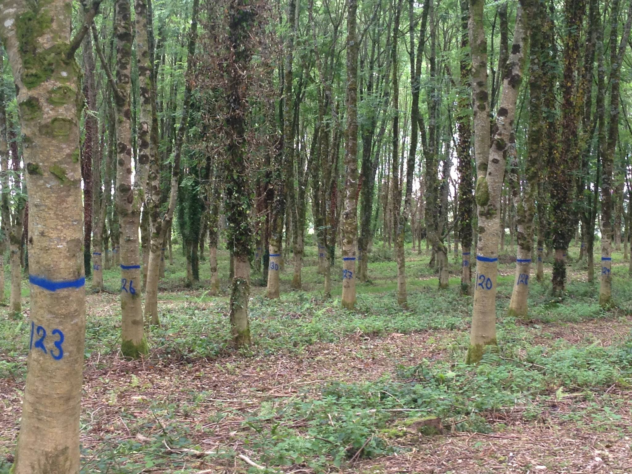 Hurley Ash marked with Distein Long Term Blue at TEGASC Johnstown Castle, Co. Wexford.