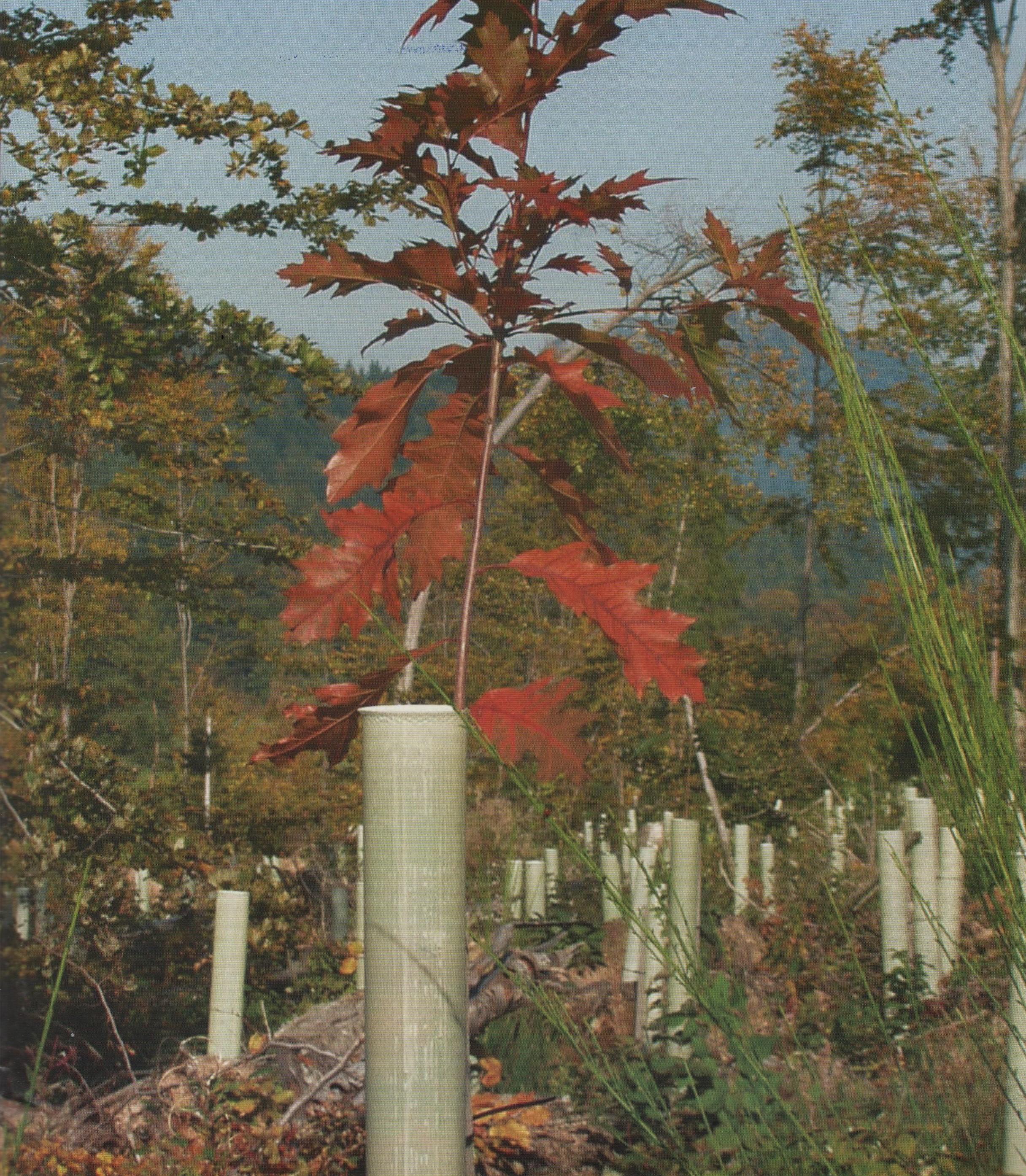 Red Oak in 1.5m Standard