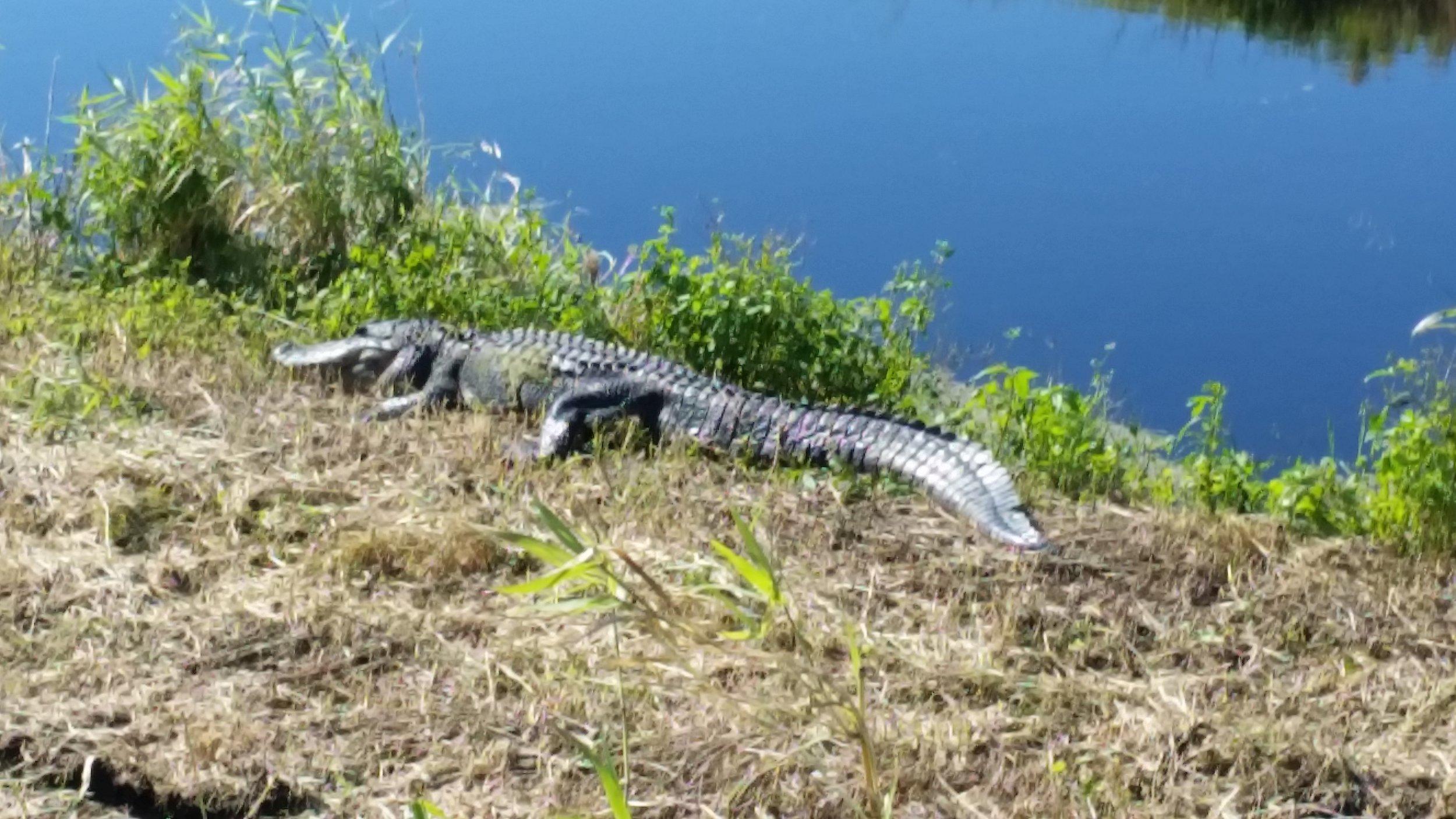 Trophy-Alligator-Hunts.jpg