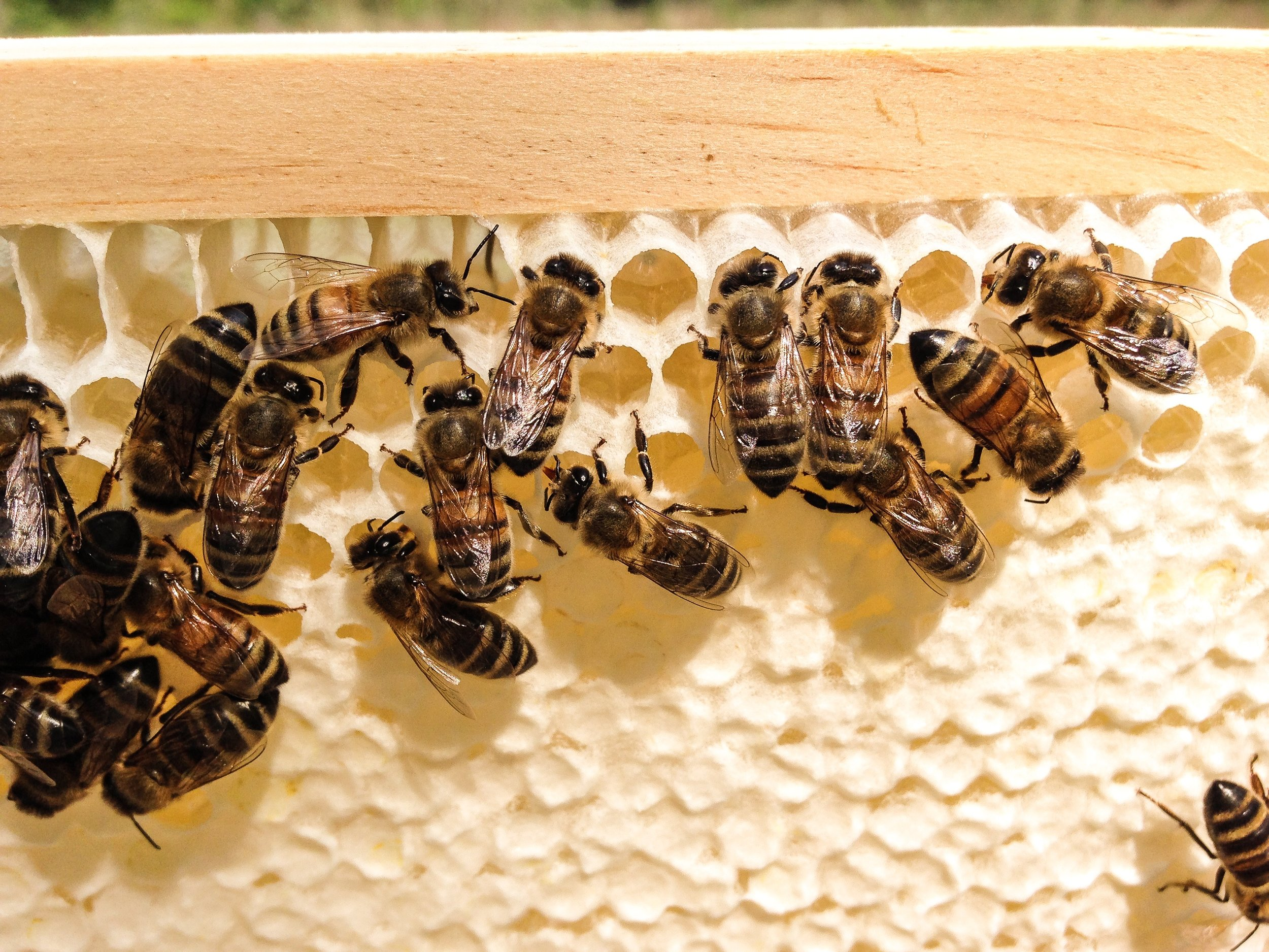 Capped honey ready to harvest