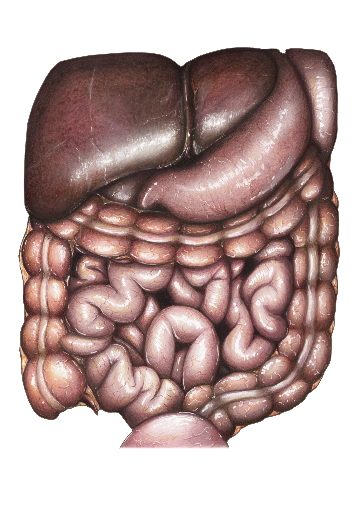 Interior Abdominal Cavity View: Liver, Gall bladder, Stomach, Spleen, Large and Small Intestines, Bladder