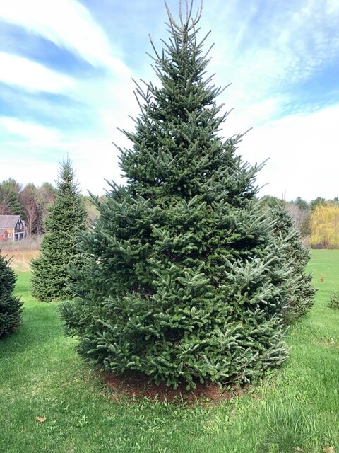 THE TREE WILL ARRIVE ON NOVEMBER 23 AT 9:00 AM IN FRONT OF THE TIDEWATER INN!