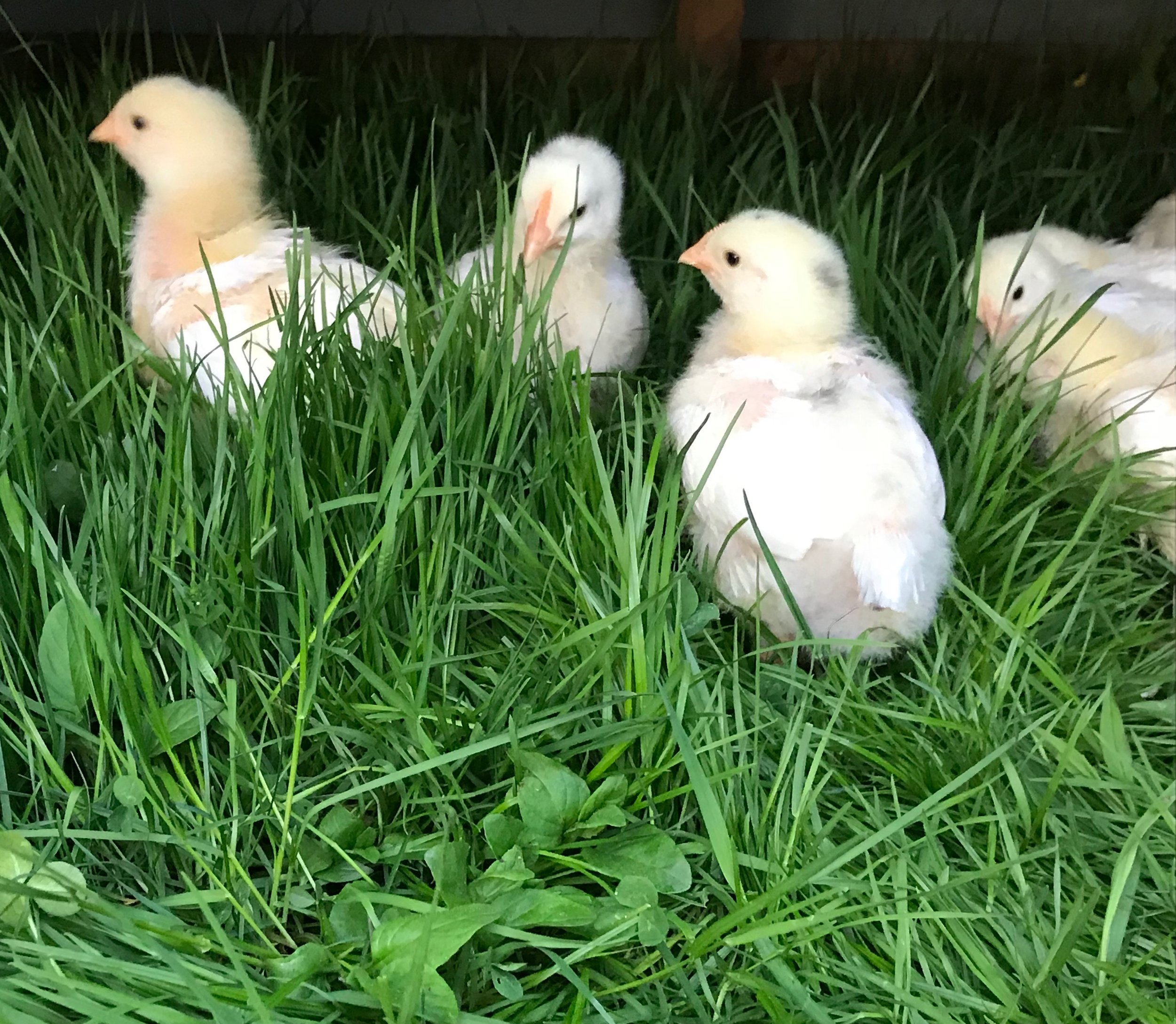 sOME CHICKS ENJOYING THEIR FIRST DAYS OUT ON PASTURE