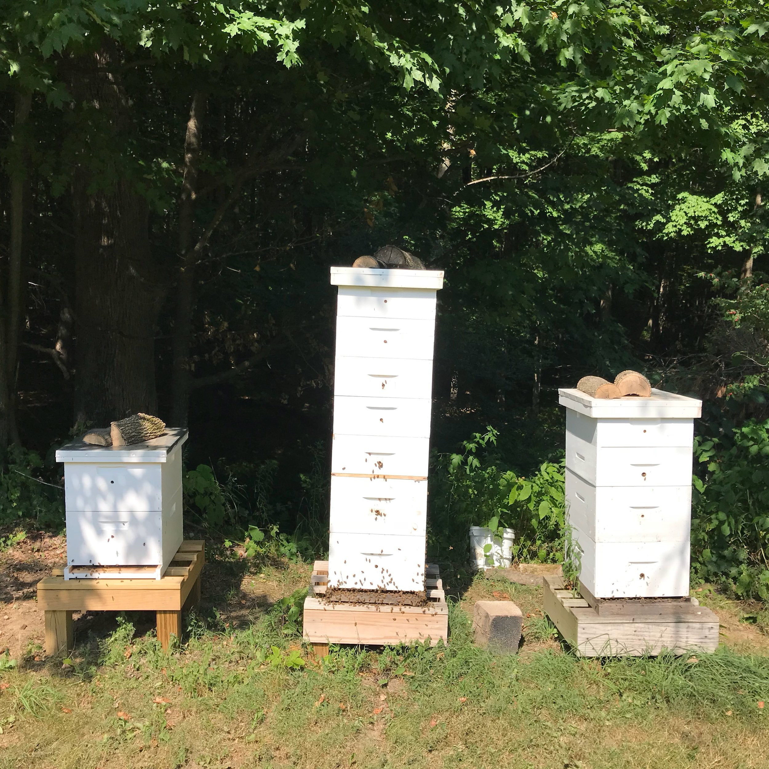 THESE HIVES ARE BUSY ON A HOT SUMMER DAY