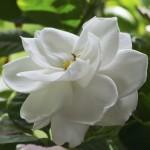 Flowering Gardenia