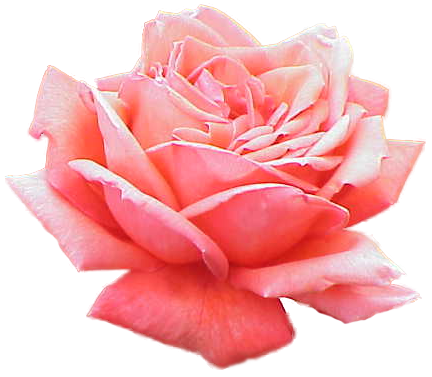 Extracted_pink_rose