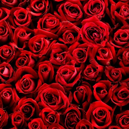 bed-of-roses-500x500.jpg