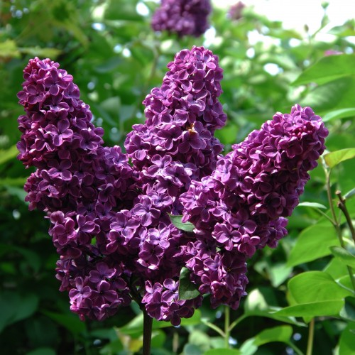 Flieder lila