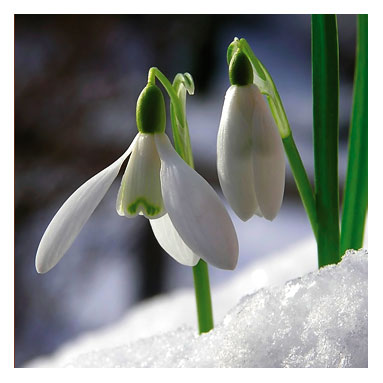 snowdrops1232947393.jpg