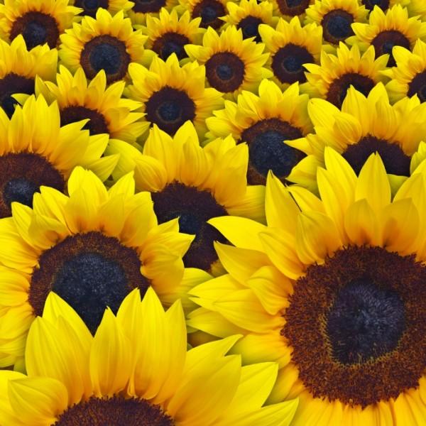 sunflowers-2-600x600.jpg