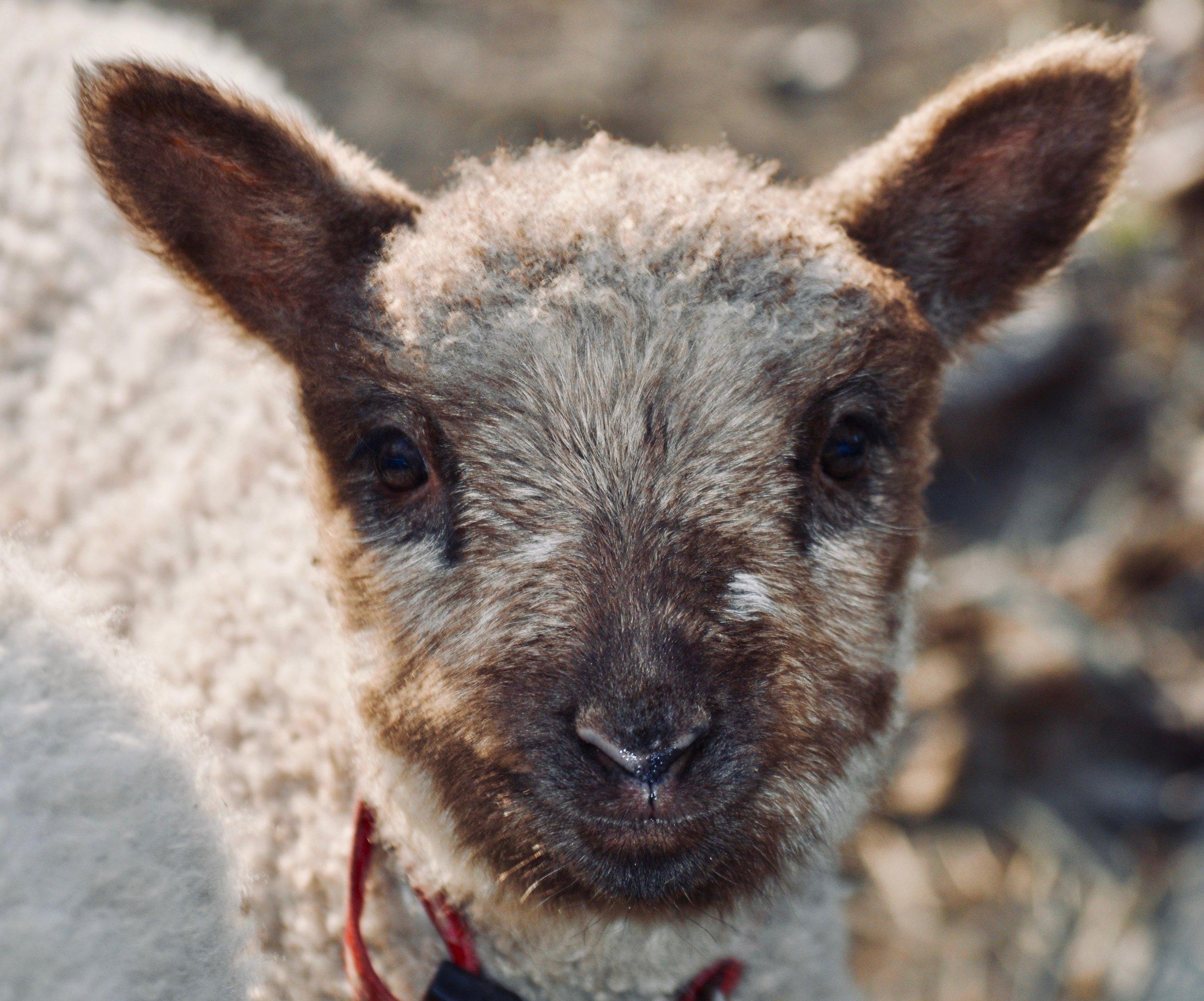 Lambs -