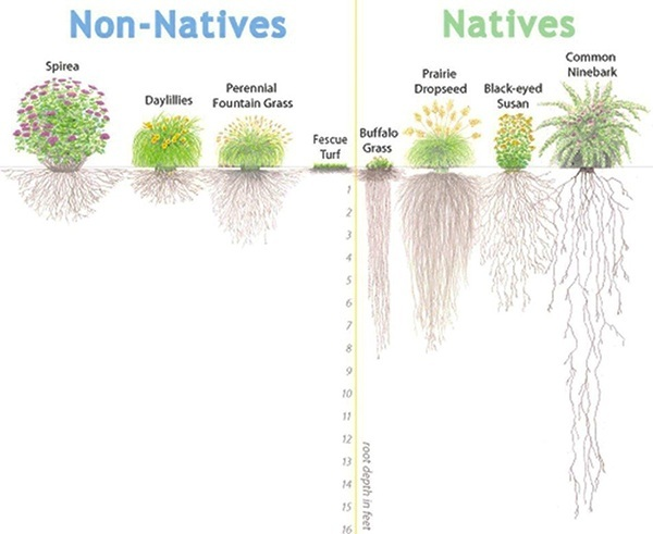 Root systems of Non-Native vs. Native Mid-Atlantic Plants. Source: Alliance for the Chesapeake Bay