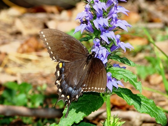 There are incredibly complex and specfic relationships between plants and insects. This is a black swallowtail butterfly nectaring on a Lobelia syphilitica.