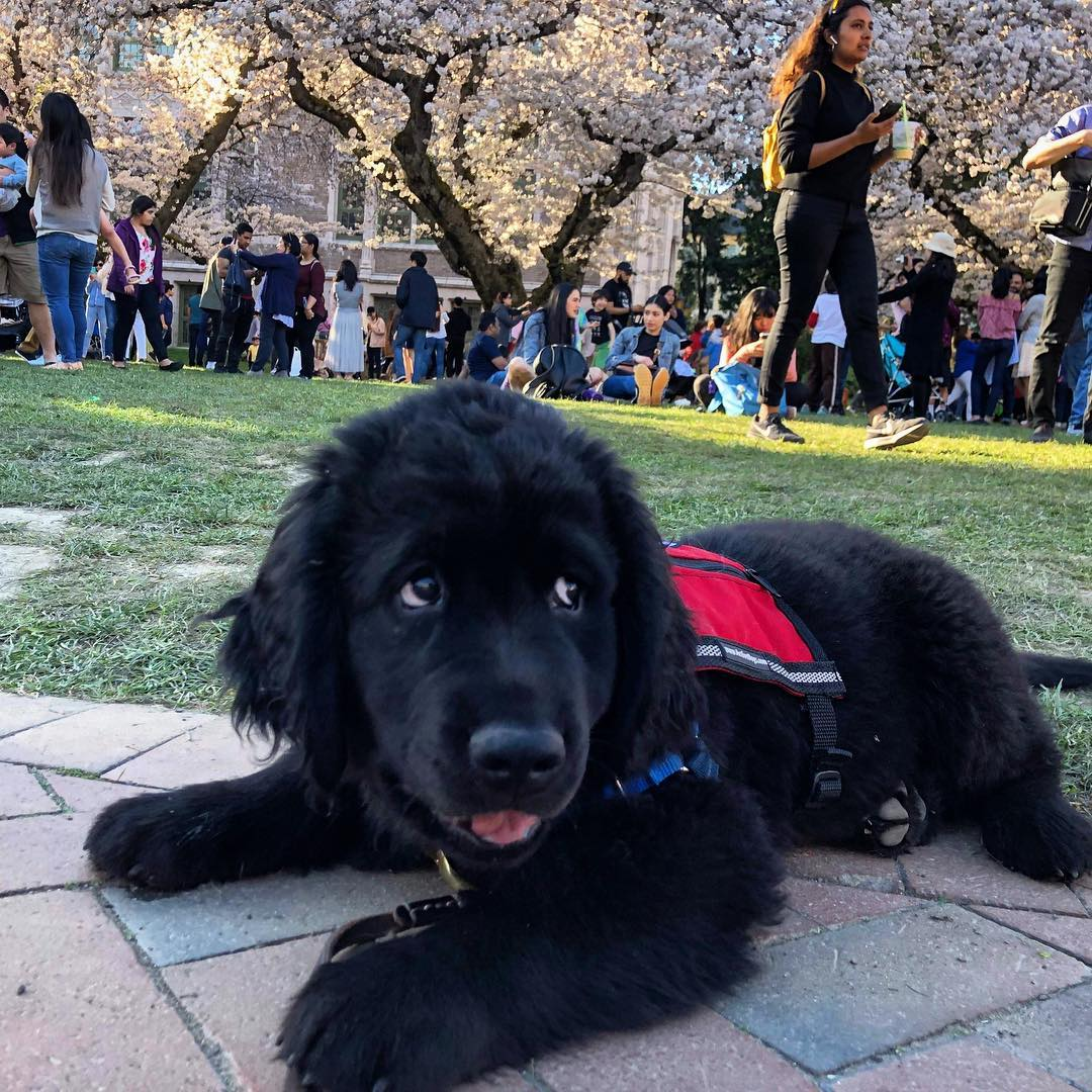 Wagtown Barking Spots are a perfect place for service dog puppies to practice socialization while out in bustling public spaces.