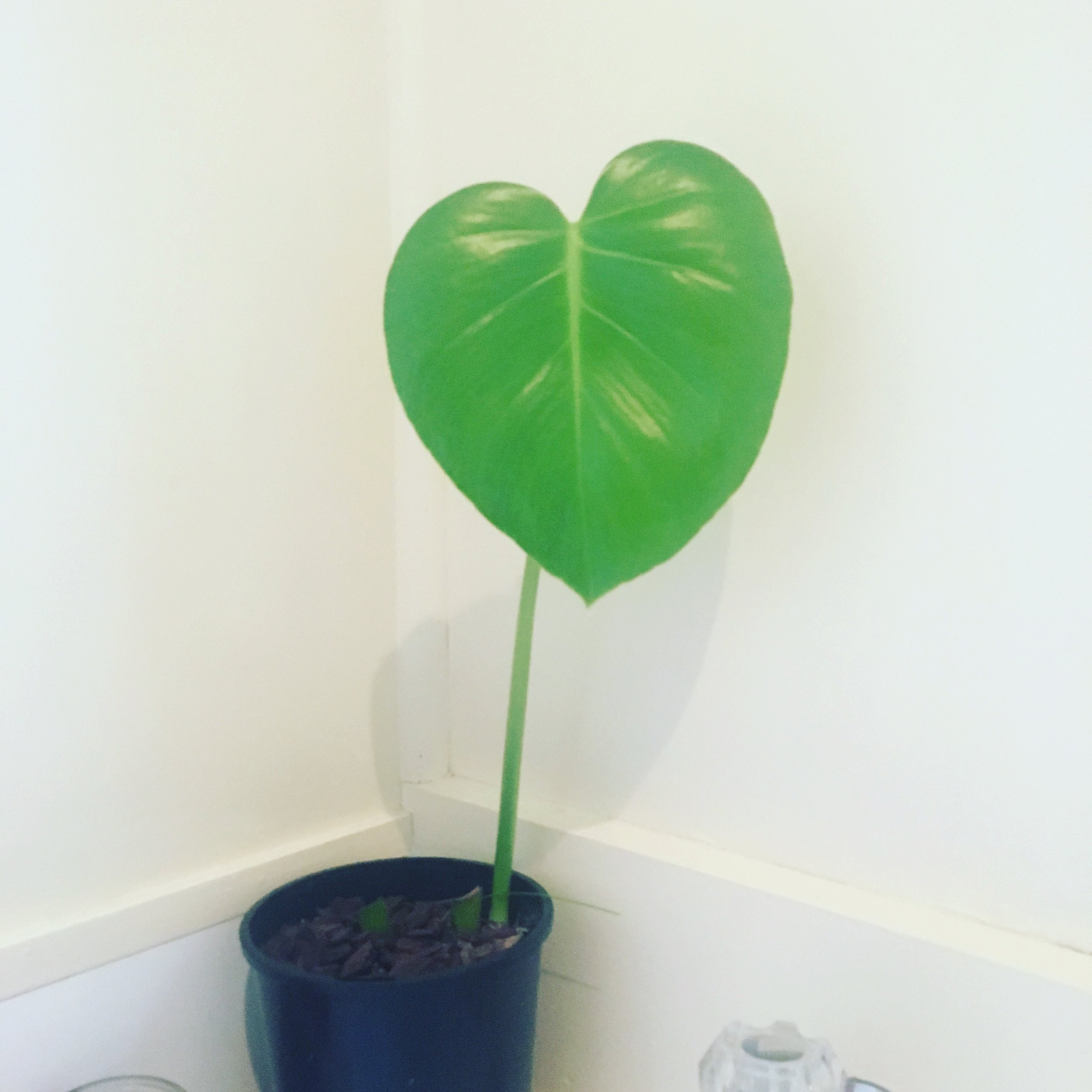 My baby Monstera.jpg