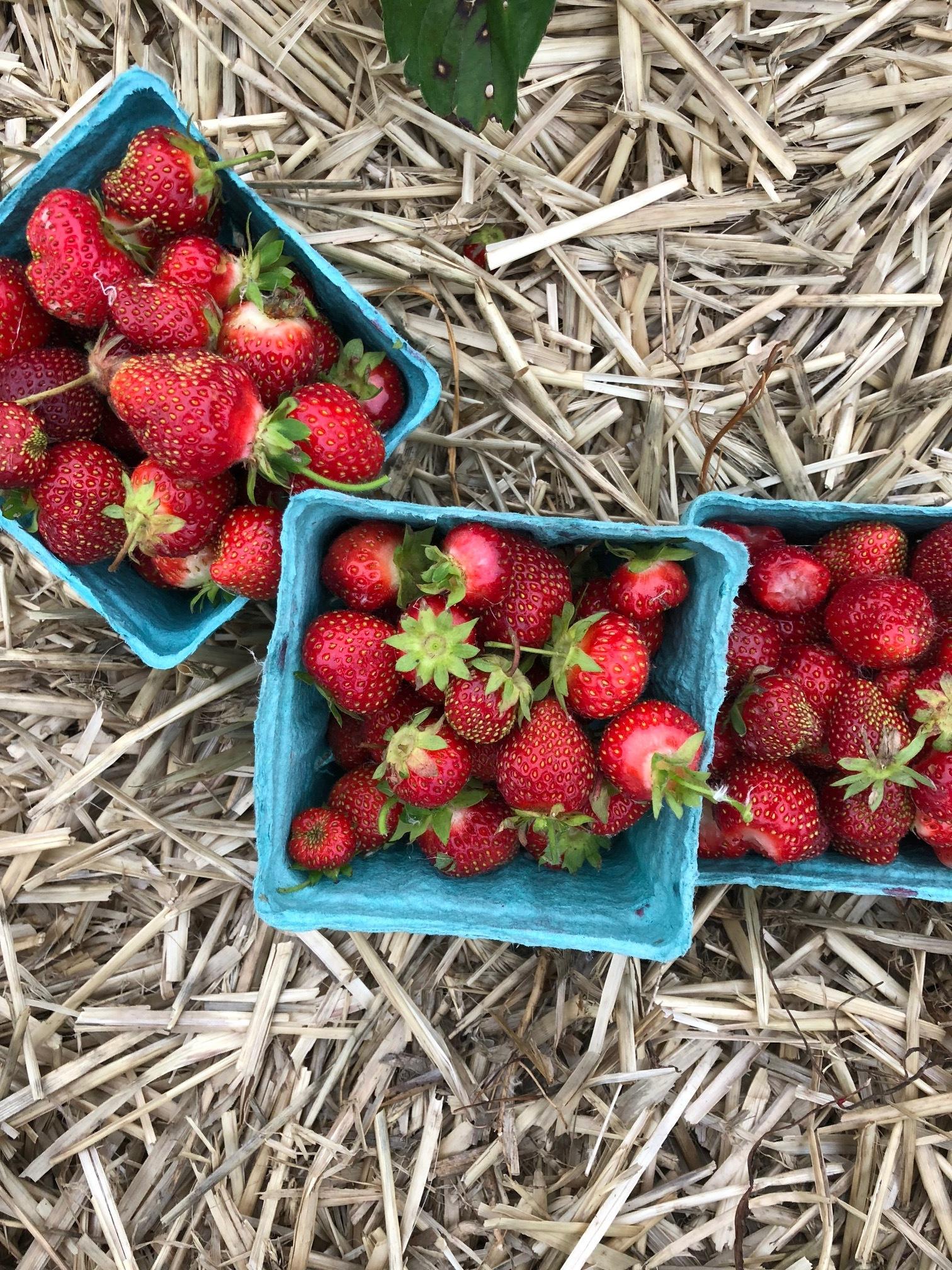 Fresh picked strawberries headed for pops.