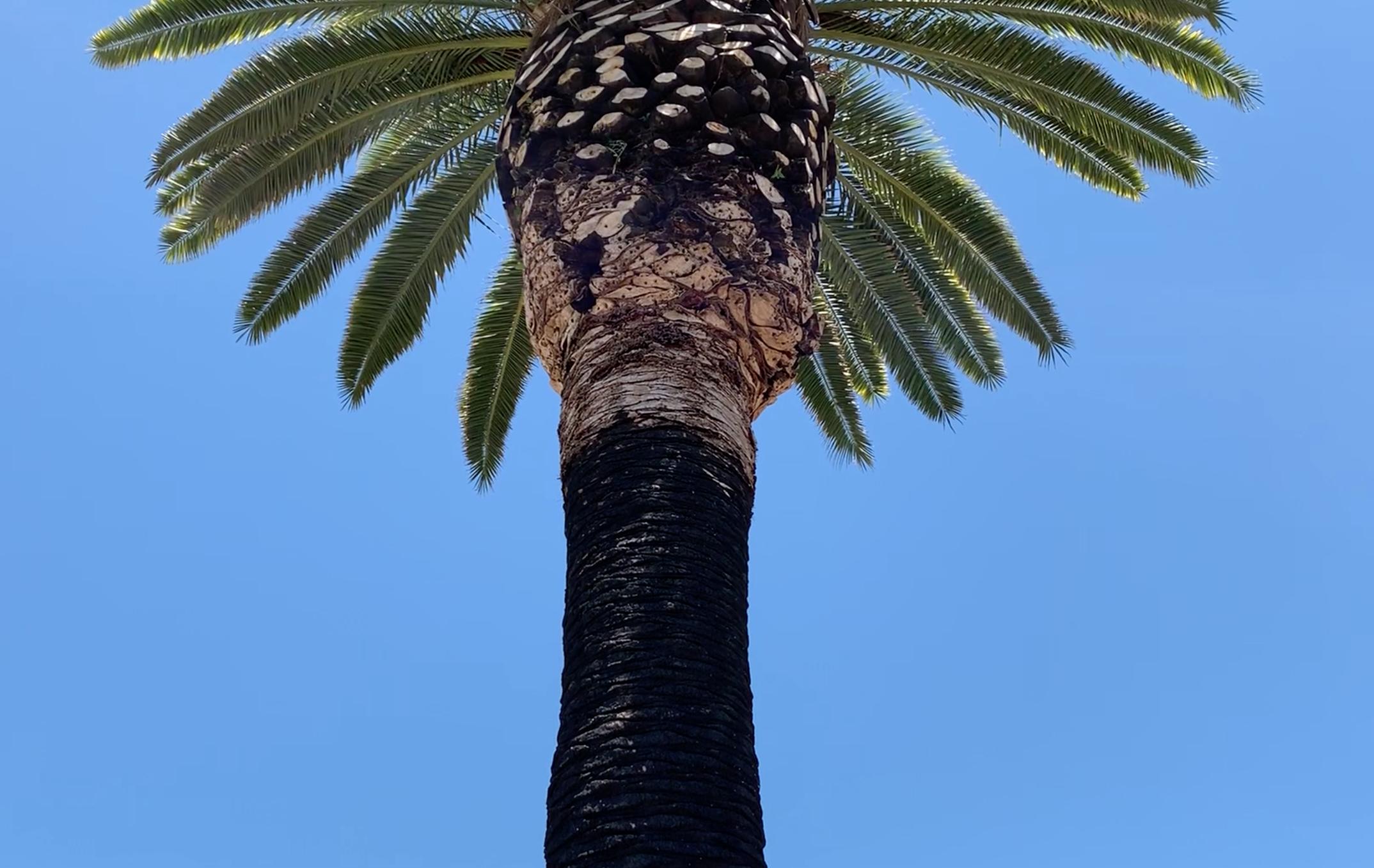 Date Palm. Santa Rosa, CA.
