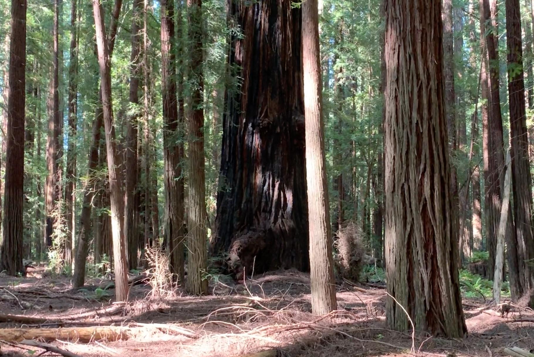 Burnt Redwood. Humboldt County, CA.