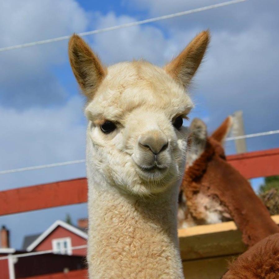 BARNVÄNLIGT - UPPTÄCK EN ANNORLUNDA DJURPARKMickelbo Gård är inte som andra besöksmål. Här hittar du roliga och annorlunda djur, allt från lappgetter och kinesiska dvärgvaktlar till åsnor, alpackor och kameler. Handla i gårdsbutiken och njut av en god fika på kaféet.Tips inskickat av: Visit Umeå