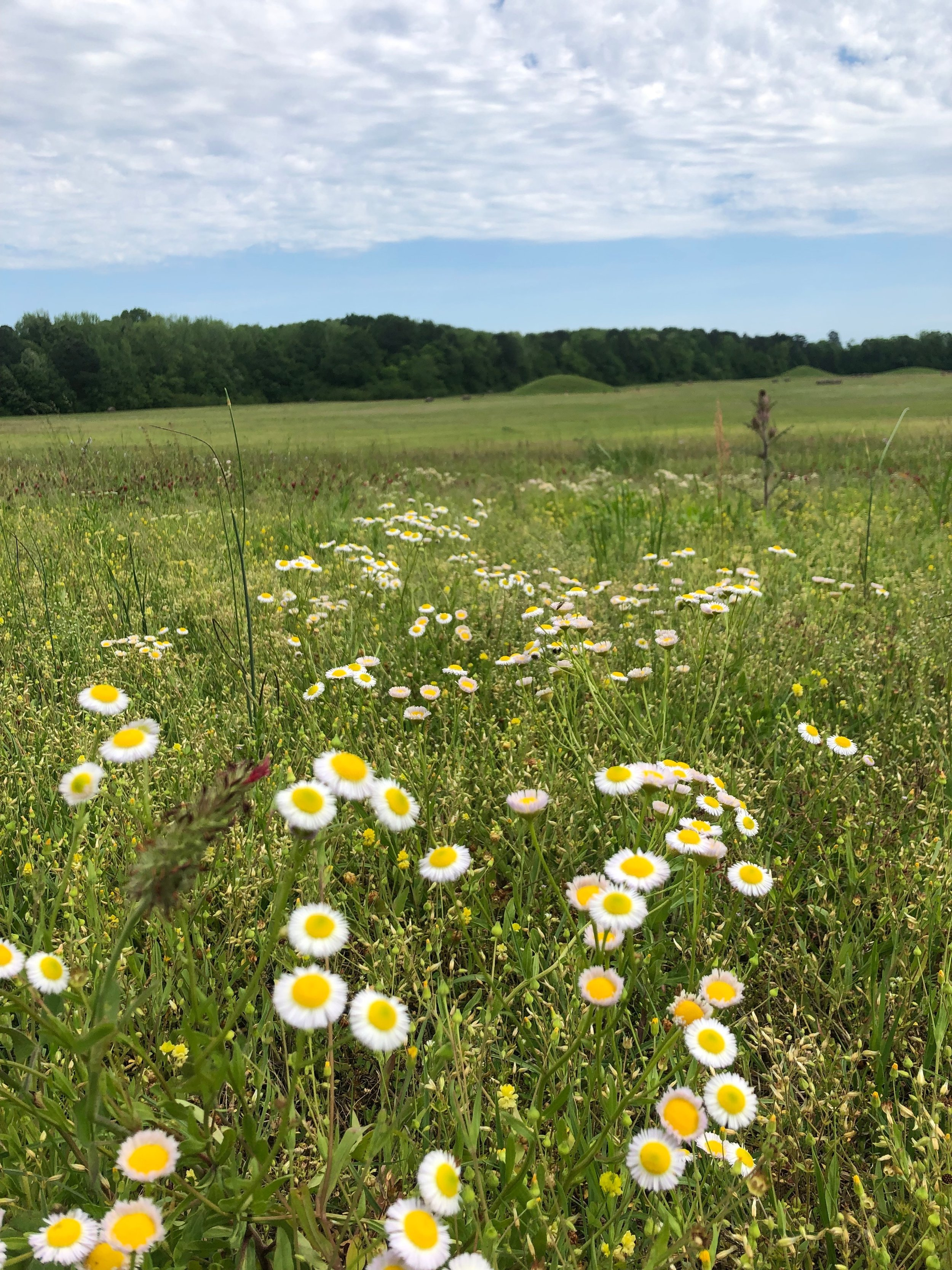 Wildflowers bloom at the Pharr Mounds in Northern Mississippi. This site is sacred to our people.
