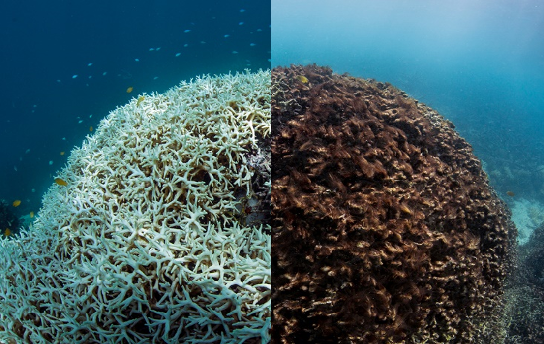 Lizard Island 2016_march-may The Ocean Agency bleached to dead coral mound.png