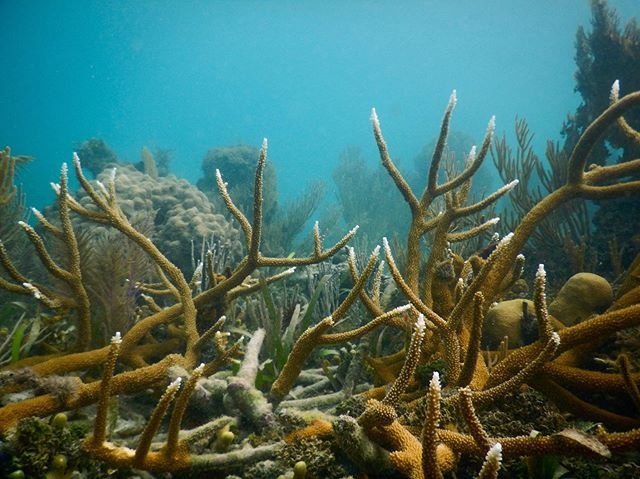 We love seeing healthy colonies of Acropora cervicornis in the wild. . This is what we're working to establish back on the reefs in Northern Haiti! . Want to get involved? Head to the link in our bio to donate or purchase essential supplies from our Amazon Wishlist! . . . . . Shoutout to our sponsors @lakayrestaurant for helping us protect Haiti's reefs! . #coralrestoration #savetheocean #savetheoceans #oceanconservation #oceanconservancy #coralbleaching #savethereef #savethecoral #reefrestoration #oceanoptimism #nobluenogreen #protectouroceans #protecttheocean #acropora #marinebio #marinebiologist #hopespots #missionblue #coralconservation #reefscape #savecoralreefs #savethecoralreefs #reefaddict #reefbuilders #reefgeek #coralnerd #chasingcoral #coralfrags #coralgarden #livecoral