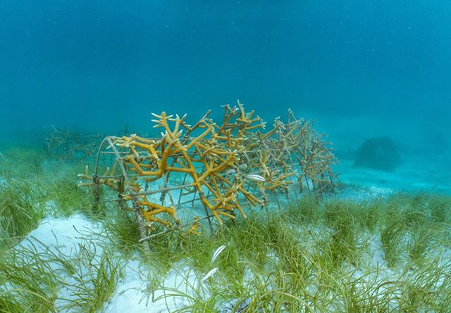 Check out this A-frame in one of our coral nurseries! . Here at AIEF we use two different structures in our nurseries to grow corals; a-frames and tree frames. . Want to help us grow corals and restore the reef? Head to the link in our bio to donate today! . . . . 📷: @maxim.laroche . #amigaisland #haititourism #visithaiti #coralrestoration #savetheocean #savetheoceans #oceanconservation #coralbleaching #savethereef #savethecoral #reefrestoration #ourocean #oceanoptimism #nobluenogreen #protectouroceans #protecttheocean #acropora #marinebio #marinebiologist #hopespots #missionblue #coralconservation #reefaddict #reefbuilders #coralnerd #chasingcoral #coralfrags #coralgarden #livecoral #coralgardening