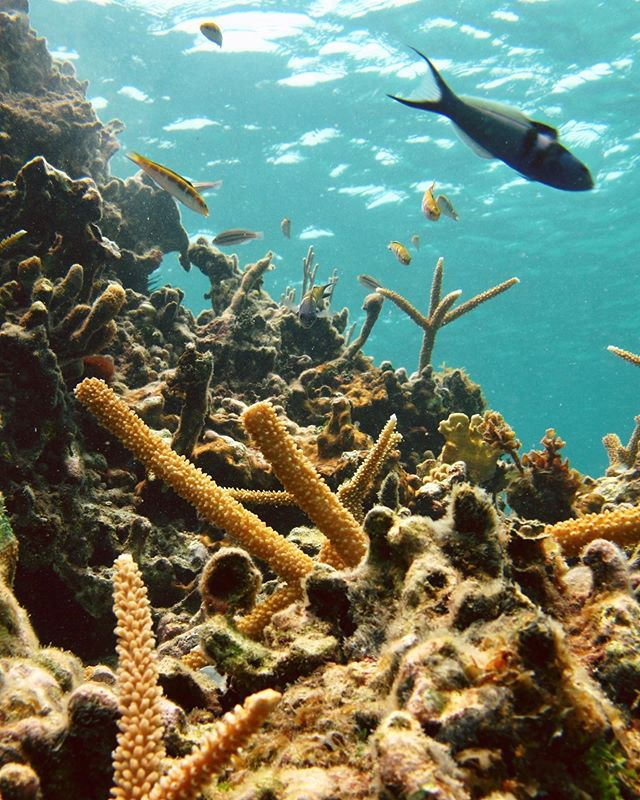 Here's a picture of some brand new coral fragments placed on the reef off of Amiga Island in Northern Haiti! . We've out-planted over 1,000 coral fragments this year alone. . Want to help us restore the reefs? Head to the link in our bio to donate today! . . . . . #coralrestoration #savetheocean #savetheoceans #oceanconservation #oceanconservancy #savethereef #savethecoral #reefrestoration #ourocean #oceanoptimism #nobluenogreen #protectouroceans #protecttheocean #acropora #marinebio #marinebiologist #hopespots #missionblue #coralconservation #acropora #reefaddict #reefbuilders #reefgeek #coralnerd #chasingcoral #coralfrags #coralbleaching #coralgarden #livecoral #coralgardening