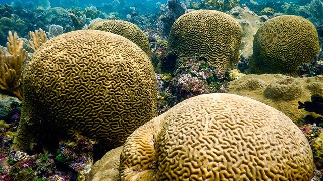 Those are some big brains! Brain coral is the common name usually given to corals in the families Mussidae and Mulinidae due to their resemblance to human brains. . . . . . #reefaddict #reefbuilders #reefgeek #coralnerd #chasingcoral #coralfrags #coralbleaching #polyps #coralgarden #livecoral #coralgardening #underwatermacro #scubadivingmag #diving_photography #underwater_world #underwaterlove #freedivingphotography #divingphotography #reefscape #savecoralreefs #savethecoralreefs #coralrestoration #savetheocean #savetheoceans #oceanconservation #oceanconservancy #coralbleaching #savethereef #savethecoral #reefrestoration