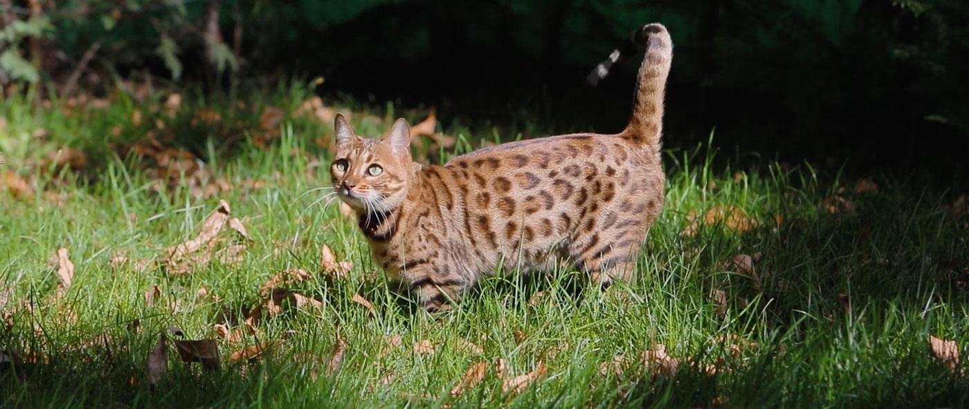 pisica-bengaleza-001.jpg