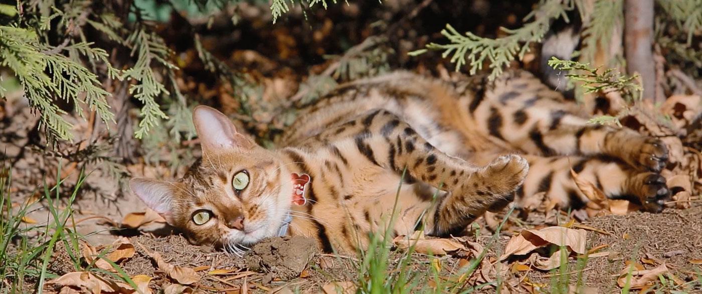 pisica-bengaleza-002.jpg