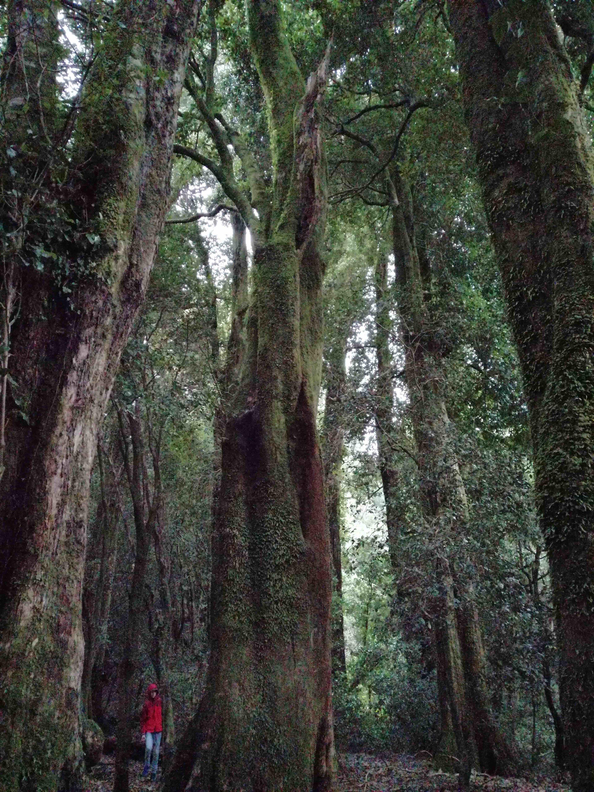 Bosque de Olivillos en Punta Curiñanco, Valdivia.