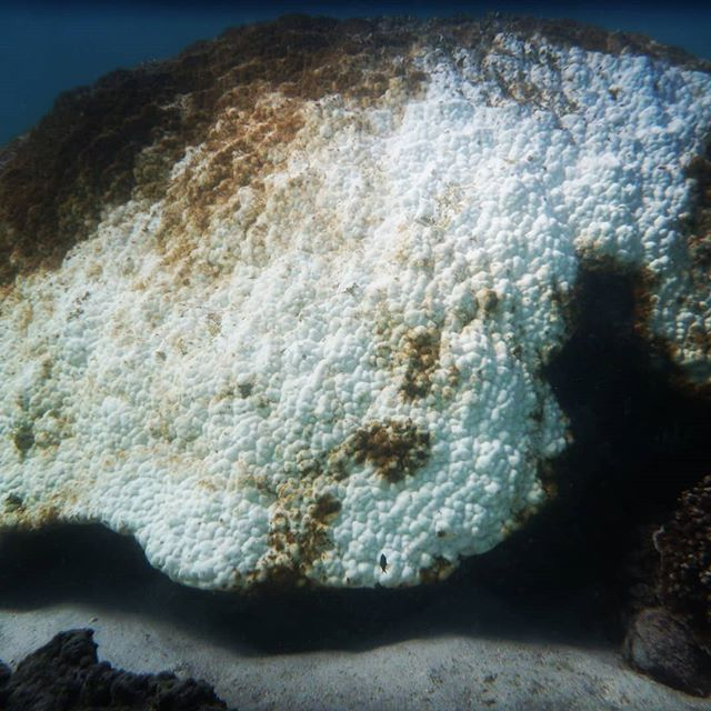 You know things are getting bad when even the most resilient and ancient corals are bleaching and dying. ⠀⠀⠀⠀⠀⠀⠀⠀⠀ 🌊 ⠀⠀⠀⠀⠀⠀⠀⠀⠀⠀⠀⠀⠀⠀⠀⠀⠀⠀⠀⠀⠀⠀⠀⠀⠀⠀⠀⠀⠀⠀ #climatechangeisreal #coralbleaching #endfossilfuels #oceanwise #oceanwiseaustralia #marineconservation