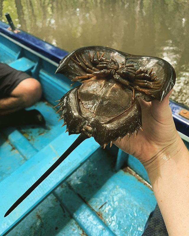 Meet the horseshoe crab (Family: Limulidae). These weird creatures are not actually true crabs... they are arthropods and have recently been re-classified as spiders! They have survived for over 500 million years but are threatened by habitat loss, pollution and fishing. Another threat is the use of their blood to detect bacterial contamination in medical equipment. Fortunately, the high demand for their blood has led to investment in alternative technologies. [Photos & footage: @cazhart] ⠀⠀⠀⠀⠀⠀⠀⠀⠀ 🌊 ⠀⠀⠀⠀⠀⠀⠀⠀⠀⠀⠀⠀⠀⠀⠀⠀⠀⠀⠀⠀⠀⠀⠀⠀⠀⠀⠀⠀⠀⠀ #horseshoecrab #arthropods #limulidae #marineconservation #iucnredlist #datadeficient #conservation #oceanwise #oceanwiseaustralia