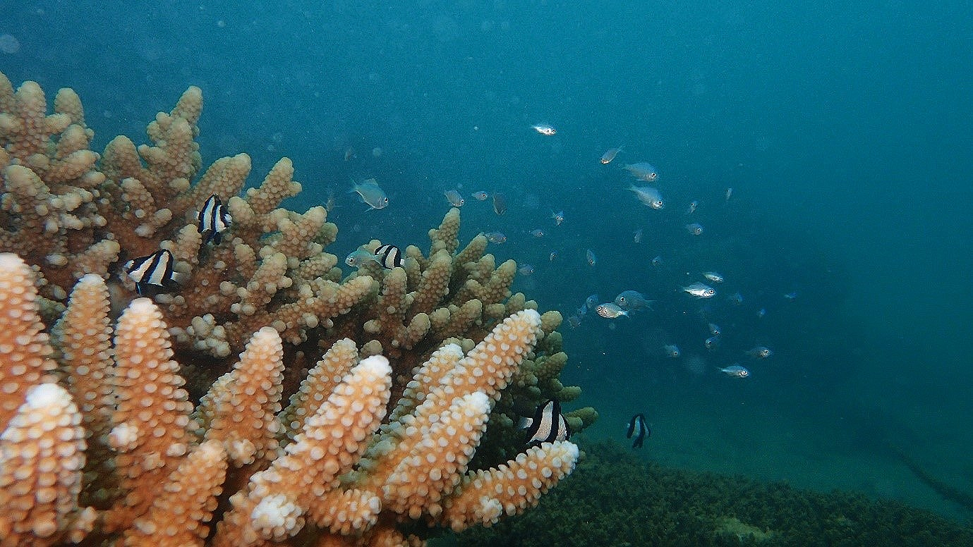 Fish sheltering among the branching Acropora coral.