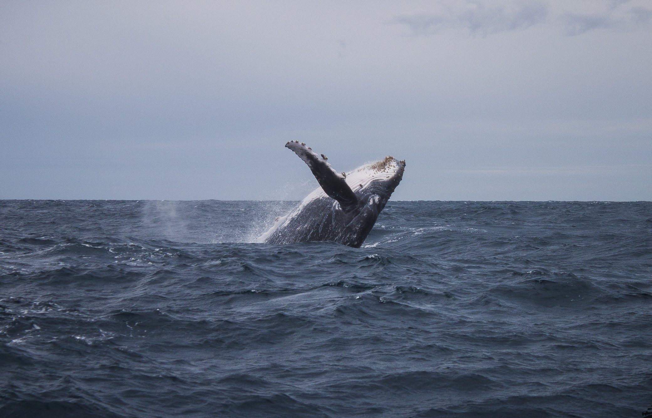 A Humpback Whale ( Megaptera novaeangliae ) breaches off the coast of Exmouth, Western Australia.