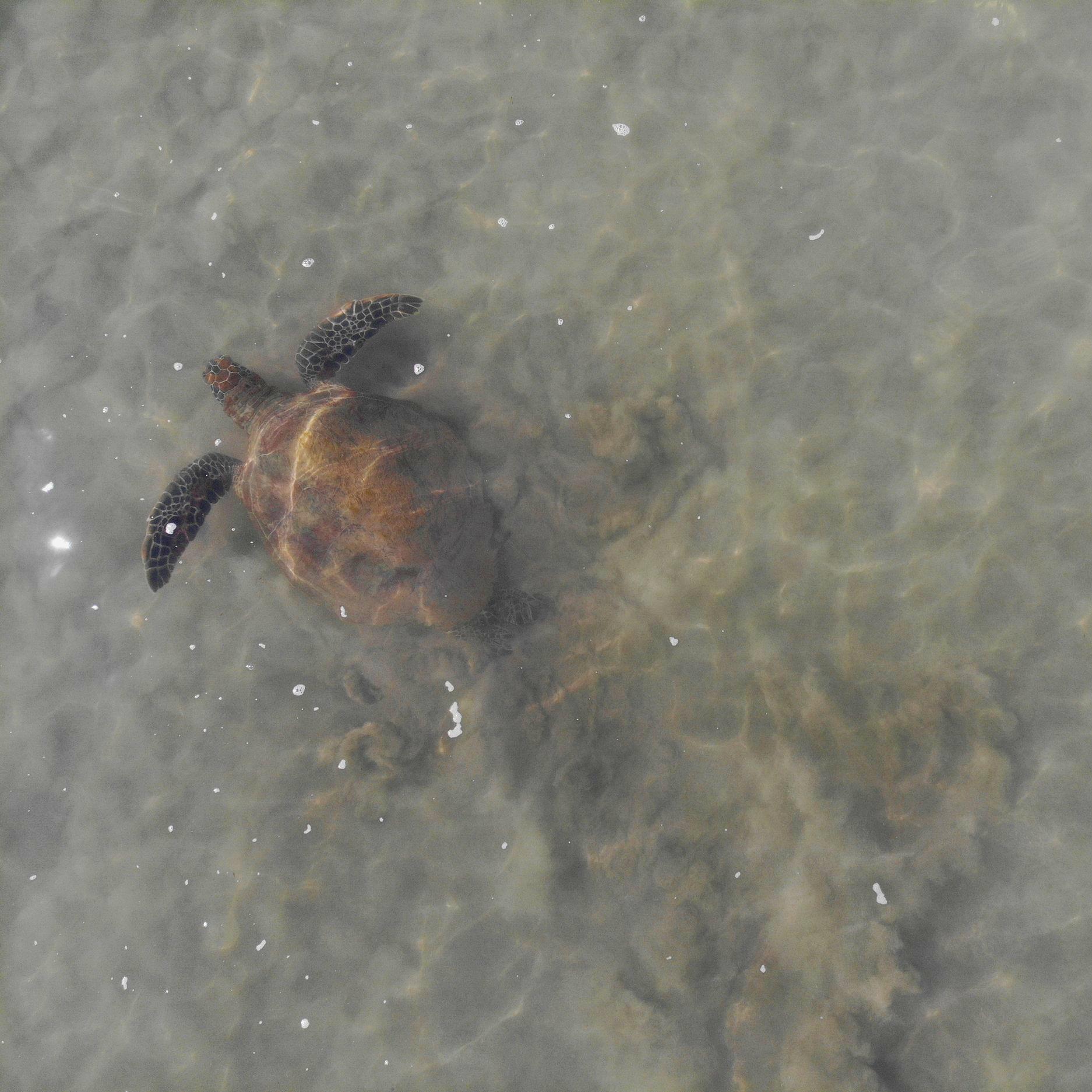 Green Turtle ( Chelonia mydas )
