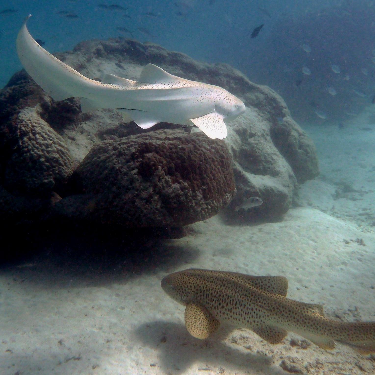 Zebra sharks ( Stegostoma fasciatum )