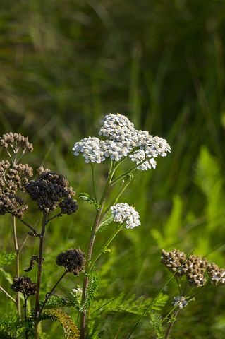 Yarrow (Achillea millefolium)  White yarrow (pictured) is the best kind for medicinal use. Other colors may be used as flower essences, but their medicinal properties are not as strong.