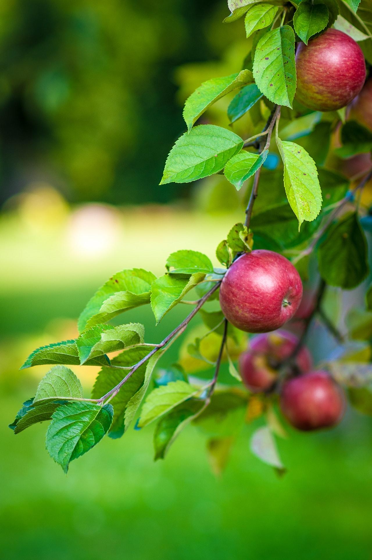 apples-fruit-leaves-47807.jpg