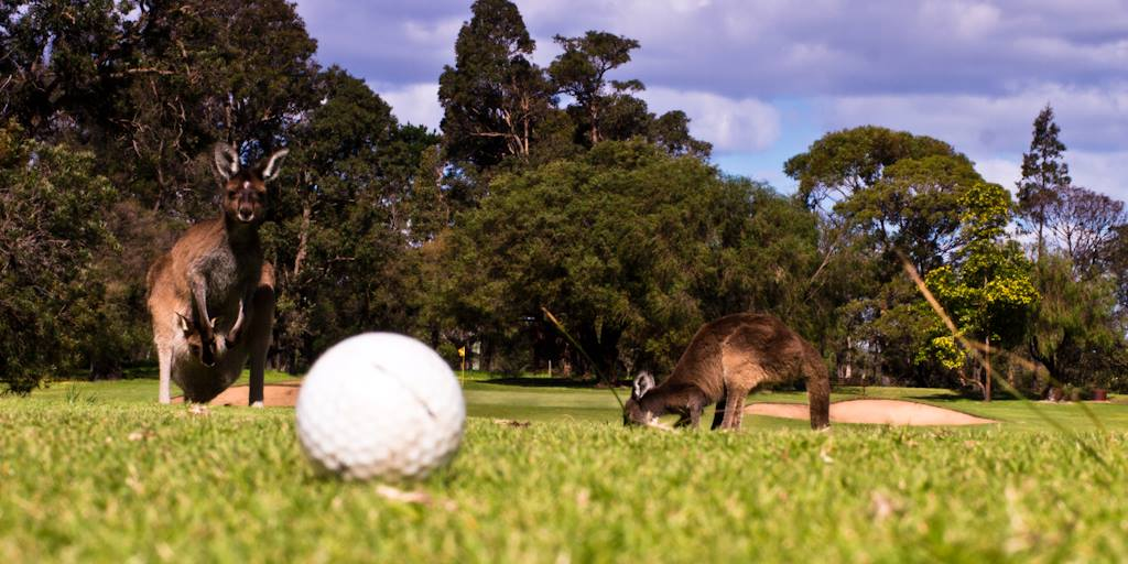 Callala 18-hole Golf Course with kangaroos and bird wildlife