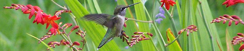 Photo courtesy of The Hummingbird Society