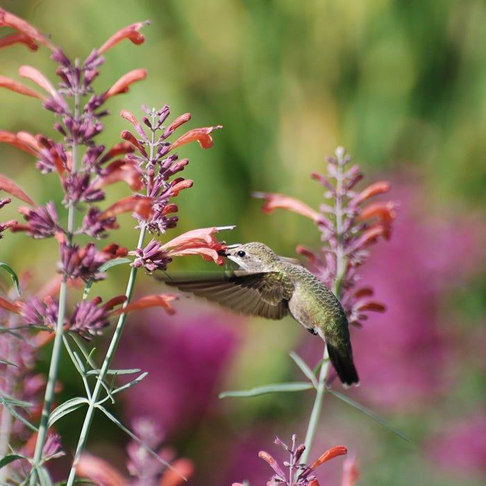 hummingbird-agastache_rupestris-pam-koch_3.jpg