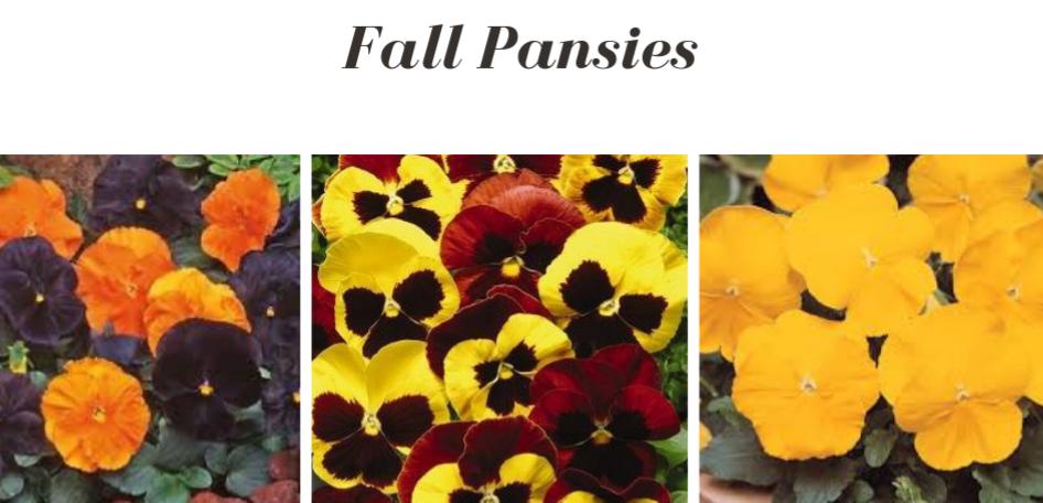 Fall Pansies.png