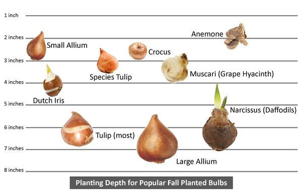 planting_depth_chart_for_most_popular_fall_planted_bulbs_grande.jpg