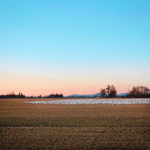 Wintering snow geese. Never have we seen so many!!! It was impossible to get them all in the one shot but it stretched back atleast a couple more thousand. Caught them just in time before sunset 🌅 . . . . . . . . . . . . . . . . . . .#wanderwashington #washingtonexplored #travelwashington #winterscenes #winterscene #winterscenery #roadtripusa #roadtripamerica #findyourpark #girlslovetravel #girlswhoadventure #exploretocreate #natgeotravel #natgeoyourshot #coupleswhoadventure #wearetravelgirls #welivetoexplore #vanlifeexplorers #vanlifers #pnwcollective #theoutbound #outdoorculture #outside_project #sunset_ig #ig_unitedstates #ig_northamerica