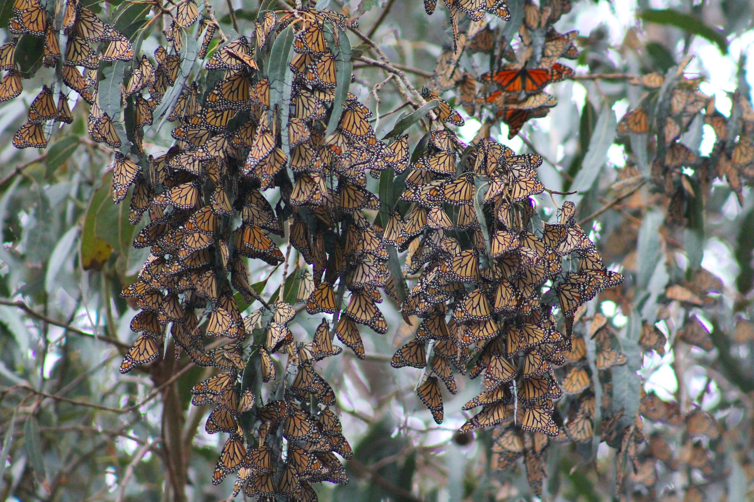 Monarch Butterflies at Pismo Beach, California
