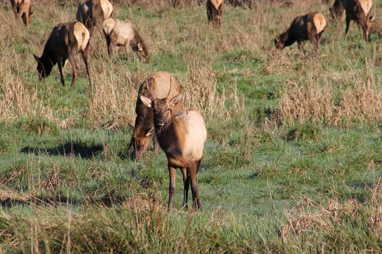 Elk seen from the Elk Meadow Turnout.