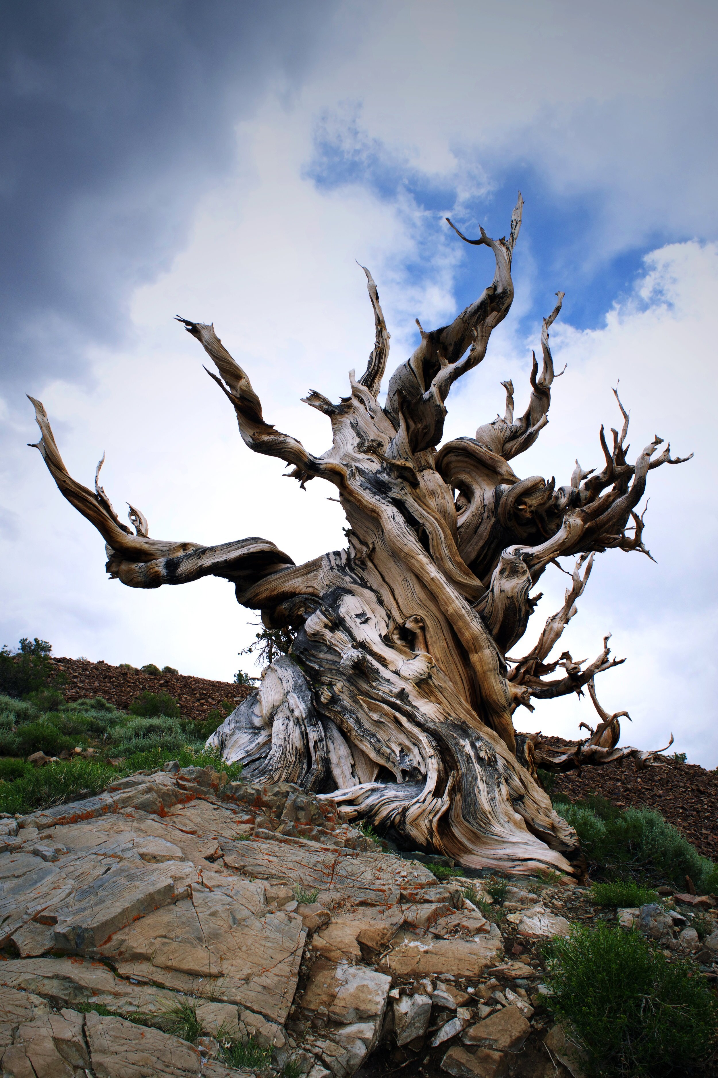 Ancient Bristlecone Pine Forest, White Mountains.